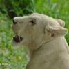 Lion de Casela