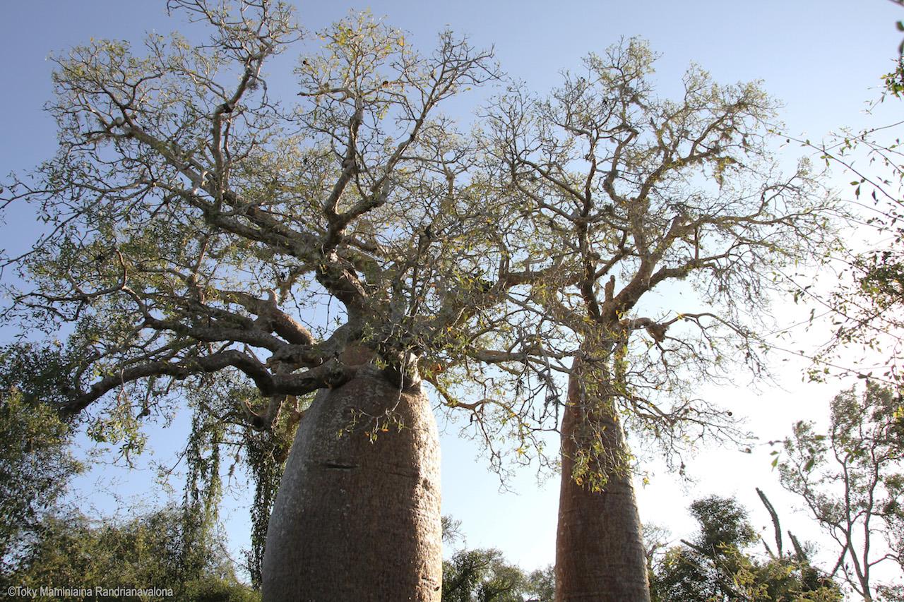 Baobab sur le chemin menant à Ifaty dans le sud-ouest de l'île