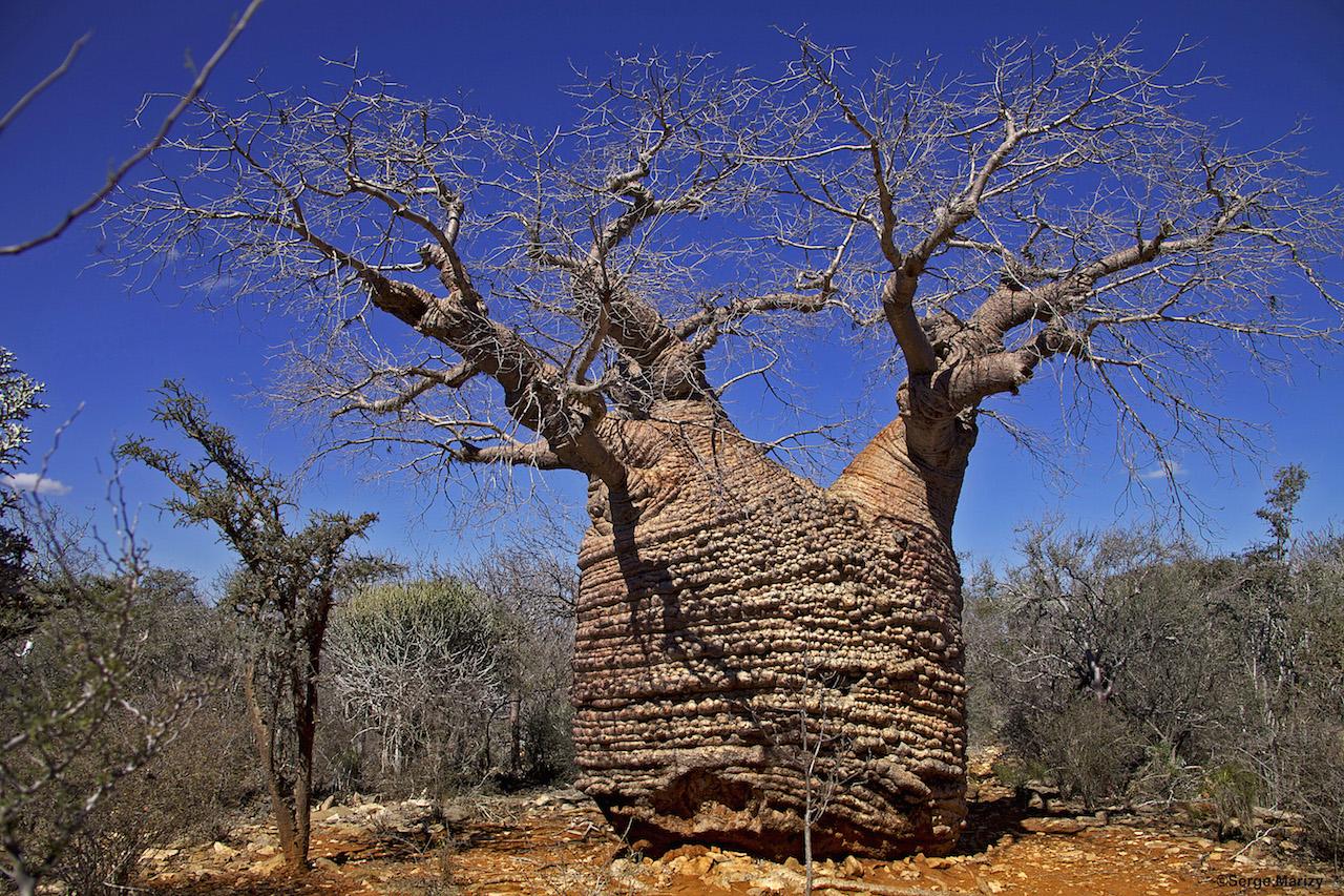 Boabab dans l'arboretum d'Antsokay à Tulear dans la sud de l'île