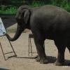 Peinture par un éléphant