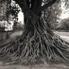 Vieil arbre Sukhotai