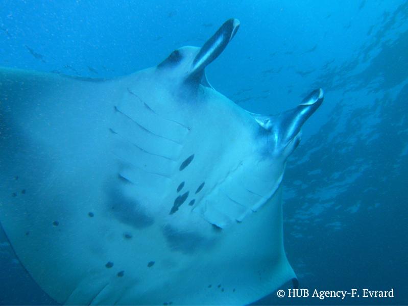 Raie Mantas plongée diving Indonésie Bali Padi Scuba Manta point