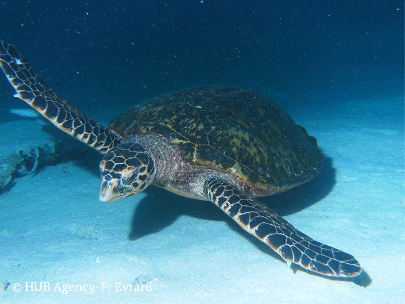 Tortue de mer Turtle Iles Maldives plongée Diving Padi Scuba