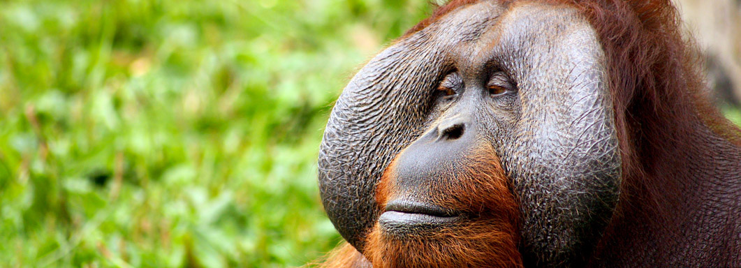Bornéo orang outan éléphant jungle Mont Kinabalu Sepilok Sukau Rainforest Lodge Grottes de Gomantong ile de Gaya